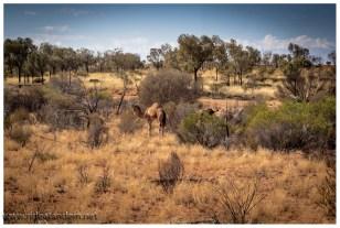 Am 2.Tag treffen wir sogar Kamele. Allerdings sind die nicht so gerne gesehen. Sie trinken den Kühen das Wasser weg und verscheuchen die Kühe auch von den Wasserstellen. Darum werden Kamele legal von den Farmern gejagt.