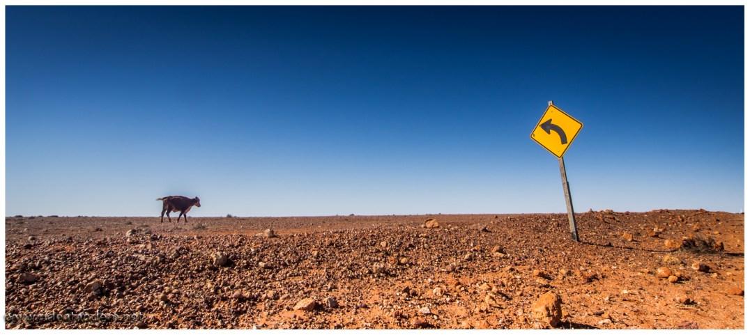Schlussendlich fahren wir 600km durch Weideland. Australische Kühe sindgezwungenermaße genügsam. Wir fahren über eine Farm die mehr Fläche als Belgien hat, aber deutlich weniger Kühe (