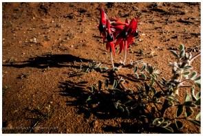 Deserts Peas, die Wahrzeichennblume von Südaustralien. Wir sehen exakt 2. Es soll aber mehr geben.