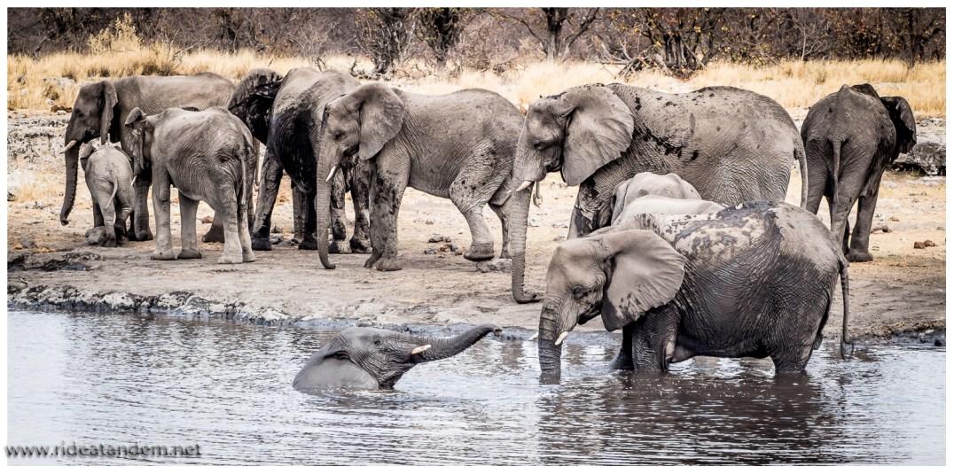 Elefanten findet man zu unserer Besuchszeit am einfachsten am Wasserloch. Die Verweildauer der Gruppe am Wasserloch hängt deutlich vom kleinsten Gruppenmitglied ab. Ist der kleinste Elefant noch sehr klein, ist dieser sehr attraktiv für die Löwen. Dies wiederum mögen die restlichen Elefanten nicht.