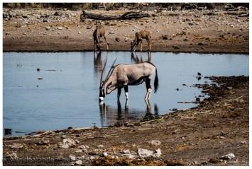 Ein Oryx, gesehen haben wir mehr, aufs Photo haben wir es nicht so oft geschafft.