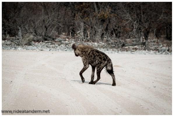 Hyäne haben wir genau 2 gesehen, dies ist die Eine ;-)