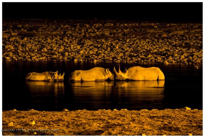 Bulle, Kuh und Kalb im Wasser. Da die Nashörner unfassbar still stehen, gelingen auch Nachtaufnehmen.
