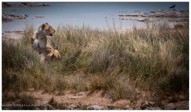 Die Löwen im Etoscha NP sind wirklich schwer zu finden. legen sie sich hin, sind sie nicht mehr zu sehen.