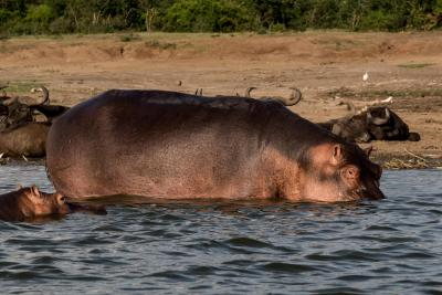 Uganda Nilpferd