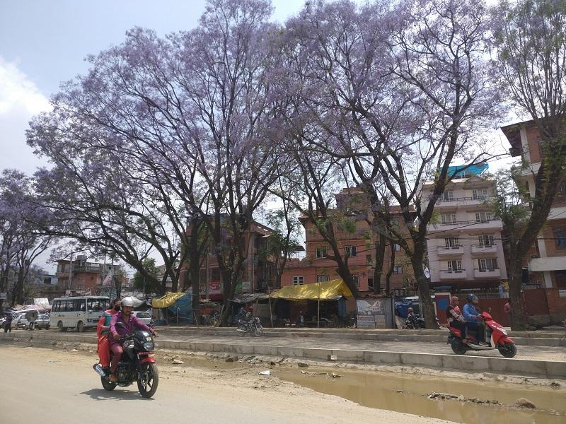 kathmandu jacaranda trees