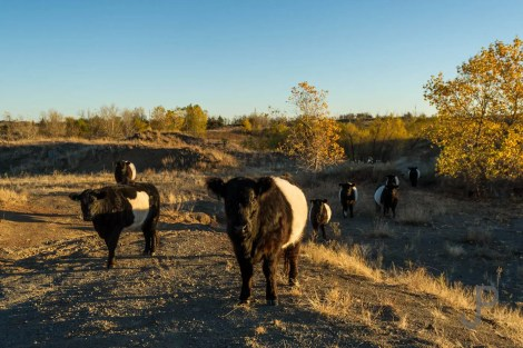 Chris and Claire Johnson raise belted Galloway beef cattle on their ranch west of Lawton.