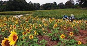 web-sunflowers