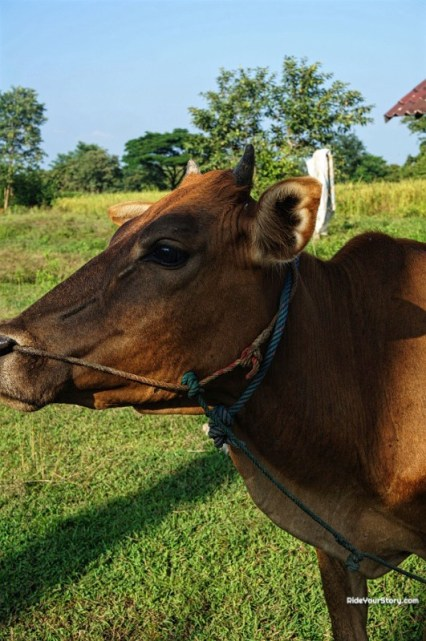 Something about this cow within the gate of Vat Phou. approaches me and seems hinting to me to open the gate
