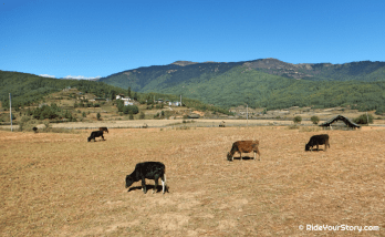 The herd glazing the field in Bumthang Valley