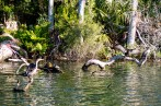 This whole region is teeming with wildlife. Turtles and cormorants. Homosassa, FL, USA