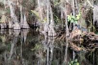 Alligator reflection pool. Everglades, FL, USA