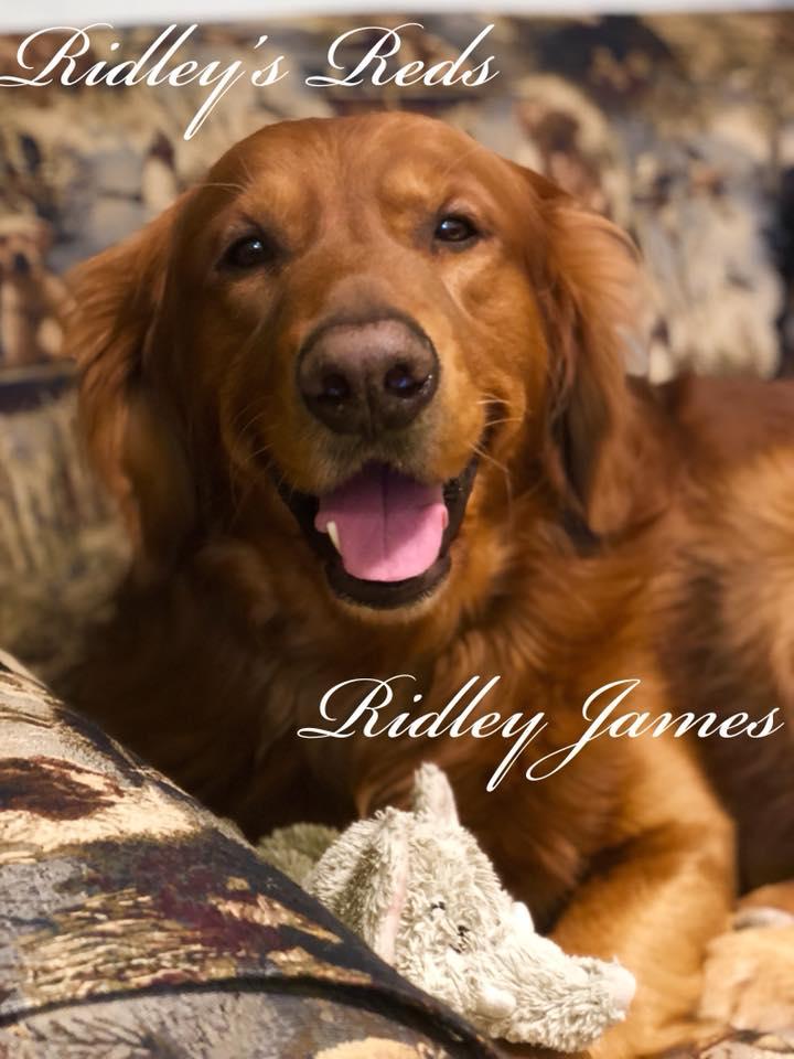 Red Golden Retriever Puppies For Sale : golden, retriever, puppies, Ridley's, Retrievers, Retriever, Puppies, Pennsylvania