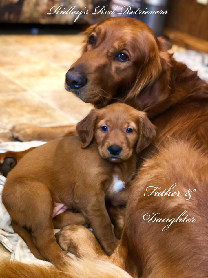 Dark Red Golden Retriever Puppies For Sale : golden, retriever, puppies, Golden, Retriever, Puppies, Www.usushimd.com