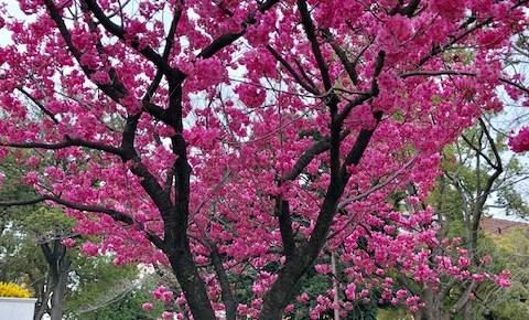 春です!4月7日(日)桜の下でコーチングを練習しましょう
