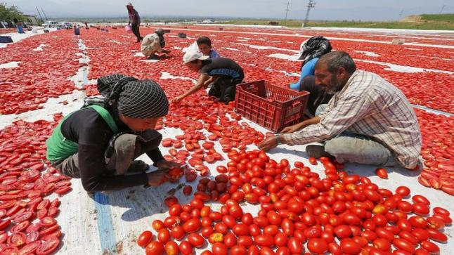 فيروس يهدد صادرات الطماطم المغربية