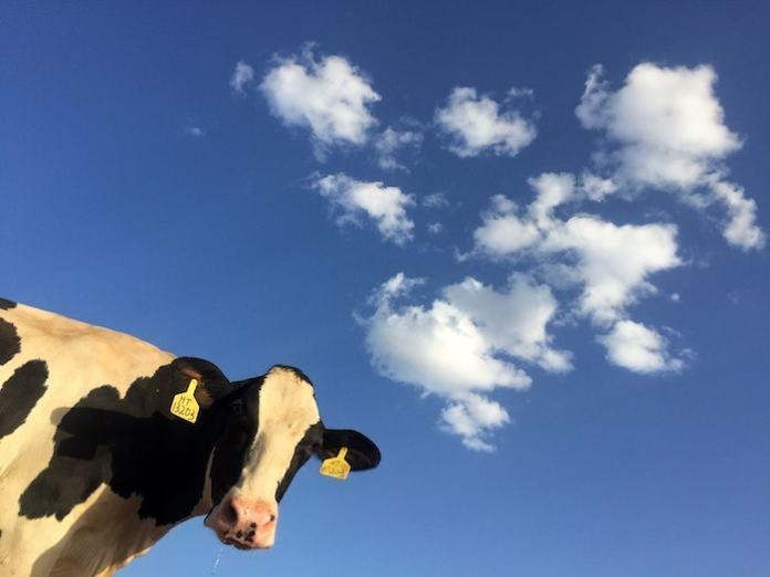 gestione dei rifiuti vacca