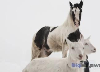 Gambar Kisah Kambing Dan Kuda