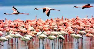 Flamingos part of Kenya Wildlife