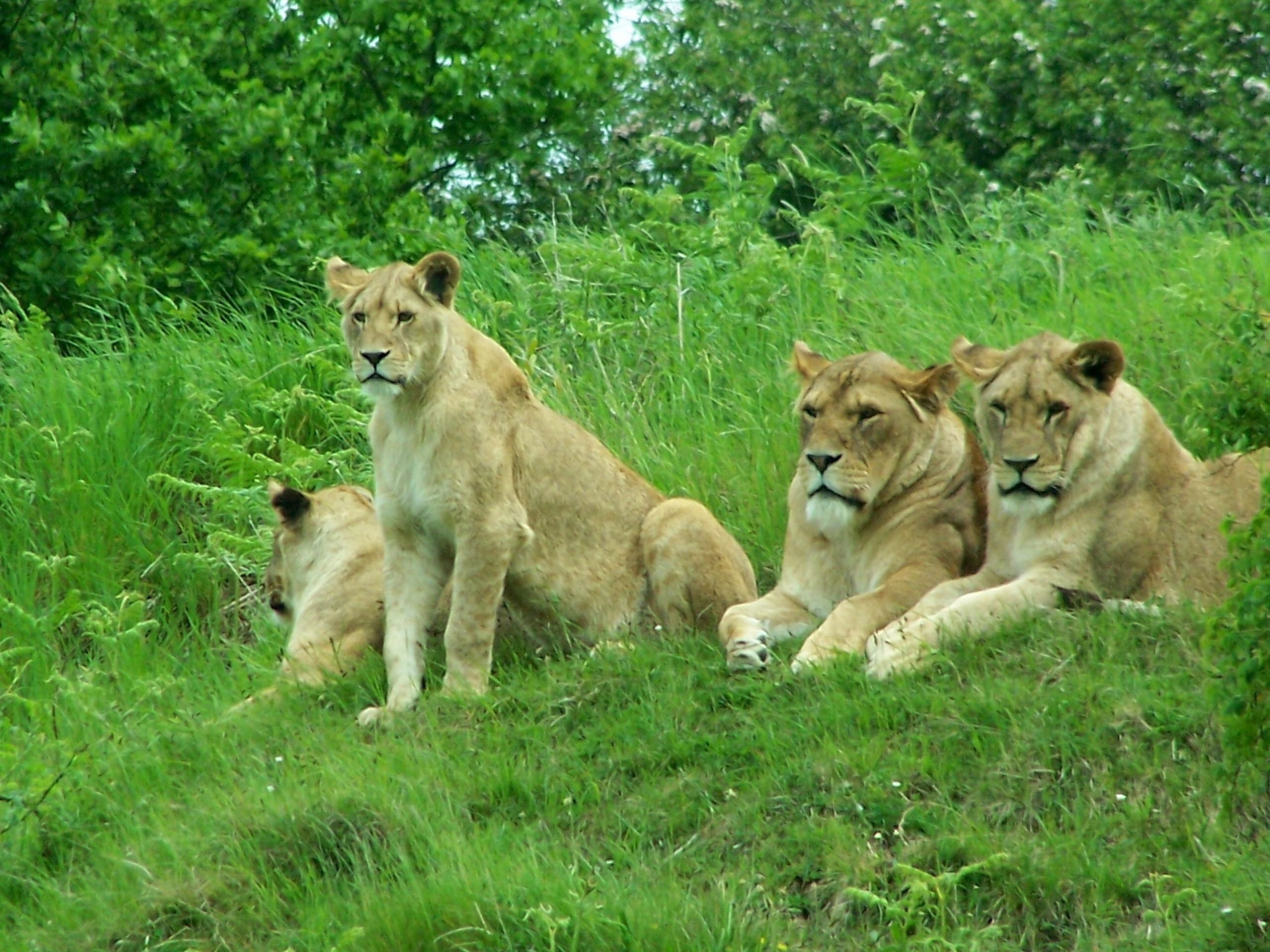 Tsavo lions Kenya Wildlife