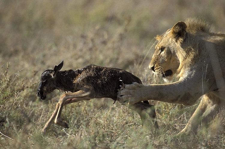 Masai Mara lions preying on the weakest