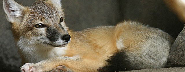 Swift Fox, Henry Doorly Zoo, Nebraska, Sep 06, Colin ML Burnett
