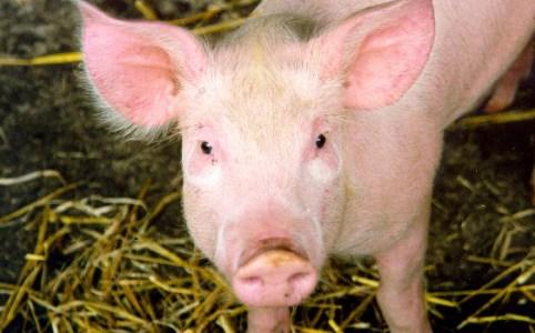 Pig, August 2008 by Nick Saltmarsh