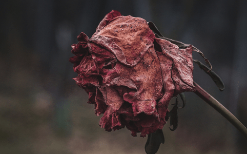Withered Rose, December 2014 by montillon.a