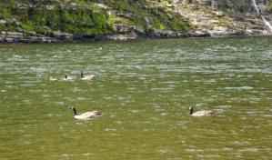 Delaware River, Ducks on the river