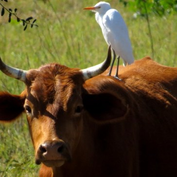 1-egrets and cows (1)