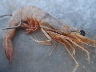 Bait used by Kampot fishermen