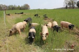 Slowgrown pigs-300x199