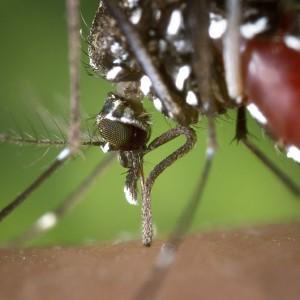 Asian-Tiger-Mosquito-Public-Domain-300x300