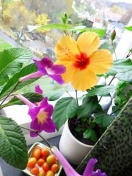 Färgprakt med streptocarpus och hibiskus.