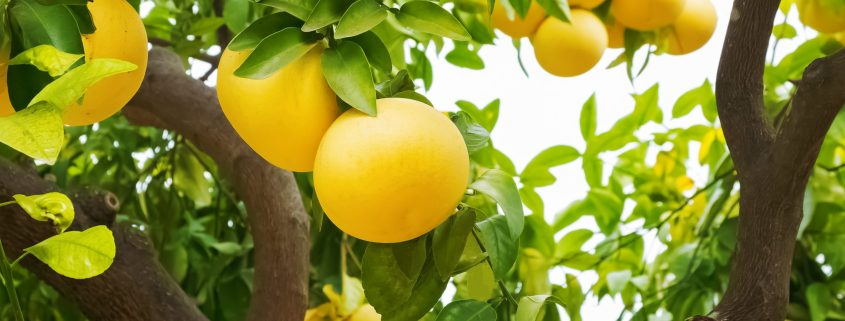 Grapefruit-Valuable to Whom?
