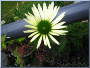 Echinacea 'Virgin'