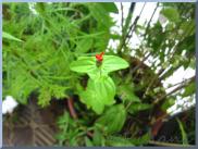 Zinnia Peruviana 'Red Spider',