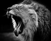 lion-animals-black-and-white-open-yawn-499457