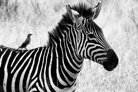 zebra-black-and-whtie
