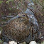 Kantzonerna mellan moar och våtmarker är viktiga för hönsfåglar i alla åldrar. Bild: Hannu Huttu