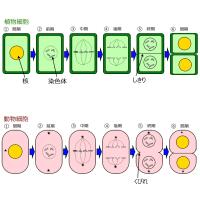 細胞分裂サムネイル