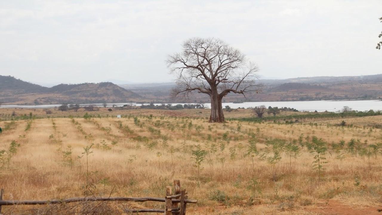 Infarten till Kiambere-plantagen, februari 2012. 6 månader gamla Mukau-träd.