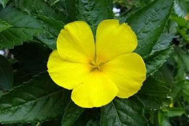 Rhodiola rosea (Златен Корен)