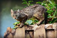 species kucing