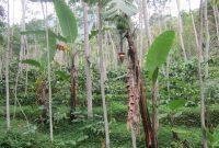 agroforestri tanaman