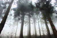 pohon cedar