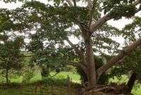 pohon balsa