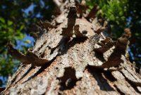 batang pohon mahoni