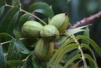buah kenari