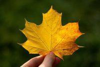 daun maple